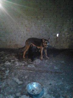 كلبه جيرمان للبيع  ام من الاخر