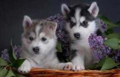 Female Siberian Husky for Sale