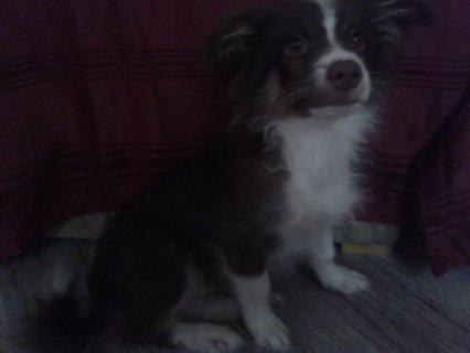 كلب جريفون 3 شهور ذكر