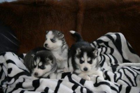 CKC Siberian Husky Puppies for free adoption
