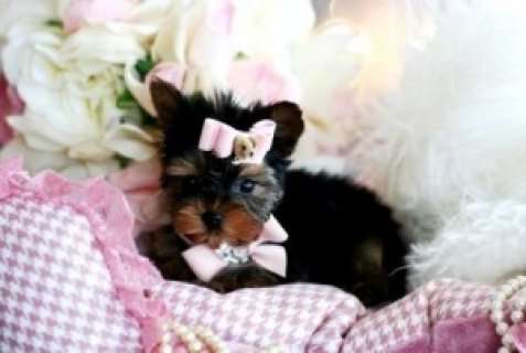 Unique Yorkie Puppies for You!