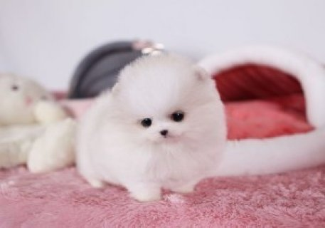 AKC registered Pomeranian puppies available