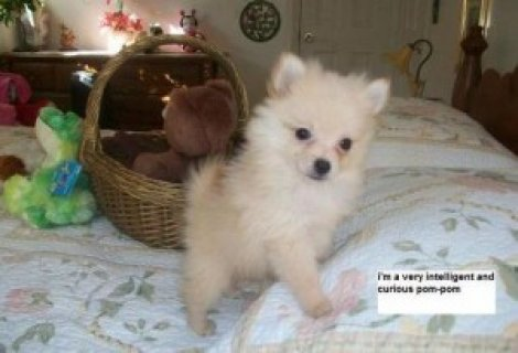 Friendly Tea Cup Pomeranian puppies for loving family companion.