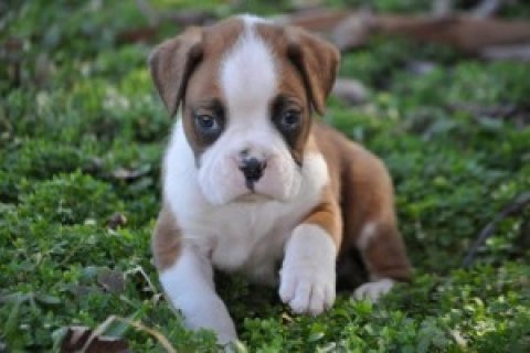 Red and White Boxer Puppies