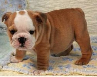 Tri-colored English Bulldog Puppies