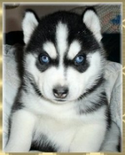 Two Siberian Husky Pups