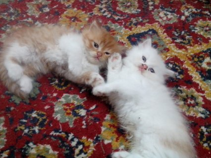 3 قطط تحفة جداااااااااااااااااااا من ام واب شيراز بيور