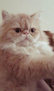قطه انثى مشمشى زرار