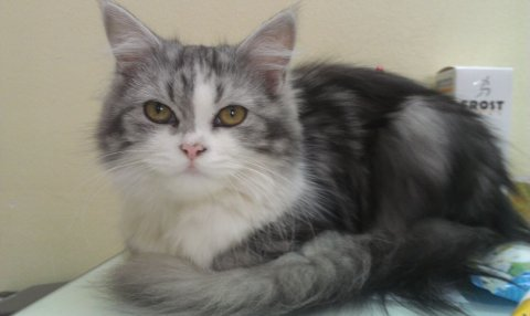 قطه شيرازي رصاصي للبيع