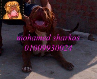 بحمد الله اللوان جراوى بيتبول نادره محمد شركس 01009930024