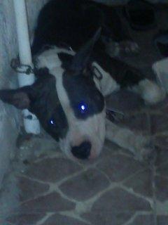 pitbull for sale male