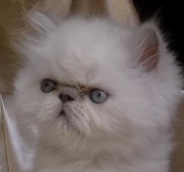 قطط همﻻيا زرار