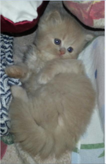 قطة شيرازي عمرها 45 يوم