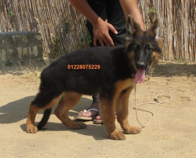 German shepherd female puppy for sale.Champion bloodline parents
