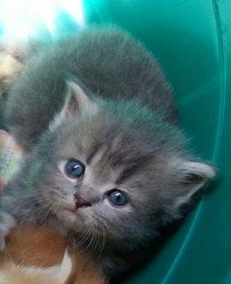 فرصة رائعة قط و قطة شيرازي للبيع