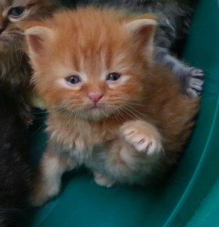 قط و قطة شيرازي للبيع العمر: 45 يوم