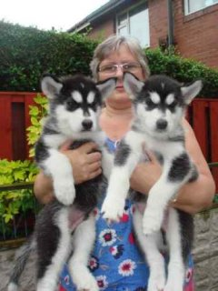 Cute male and female siberian husky puppies ready to go