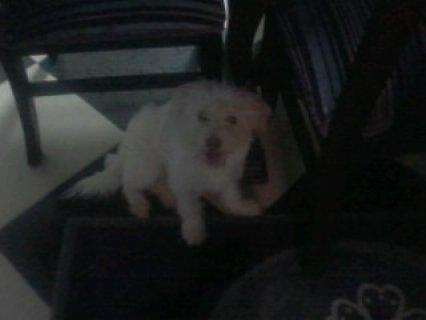 كلب نتايه لولو للبيع  الاسم لوكا