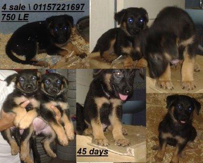 كلاب ألماني للبيع بسعر مغري