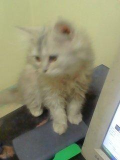 بيع قطة نيتاية 4 شهور
