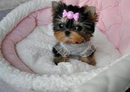 Beautiful Teacup Yorkie Puppies For Rehoming