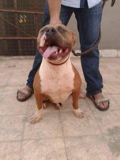 من اتقل الكلاب البيتبول في مصر