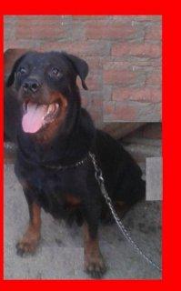 كلبه رود المانى للبيع بسعر مغرى ولدت مرتين