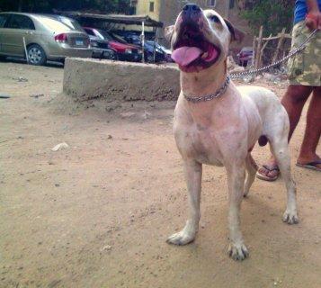 كلب بيتبول بيور مدرب بسعر خرافي