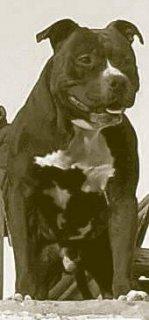 كلب امريكان بيتبول يصلح لجميع انواع الحراسات كلب جارد بجد