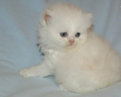 Persian Brother and Sister Available1