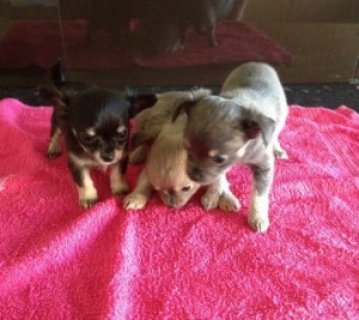 Lovely Chihuahua Puppies for Sale