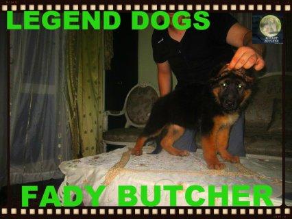 super gsd puppies