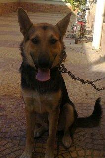 كلب بلاك جاك الماني ذكر 4 شهور