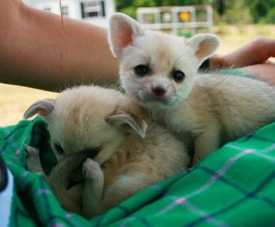 Fennec Fox and Cheetah cubs for sale