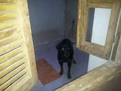 كلب رود فيلر للبيع مصر