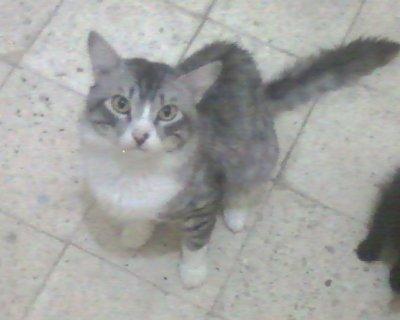 قطط للبيع شيرازى وهملايا براون تابى