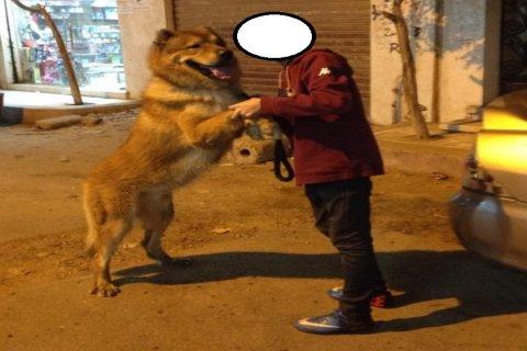 لبيع كلب كوكيجن شيبه بالاسد واللوان نادره جداا وموصفات عاليه