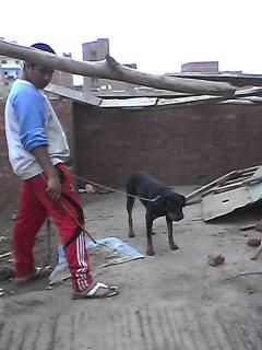 كلب رود فايدر المانى للبيع