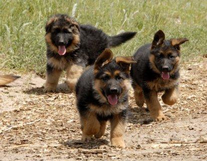 كلاب جيرمن شيبرد للبيع من فصيلة نقية