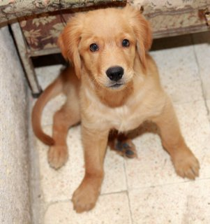 golden retriever pure - male - 3 months old - for sale