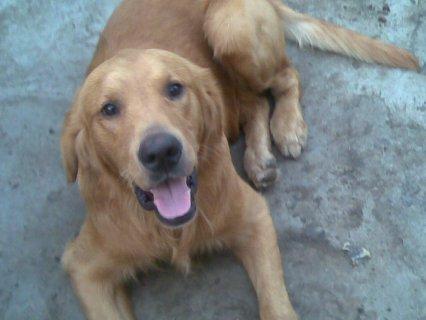 كلب Golden للبيع