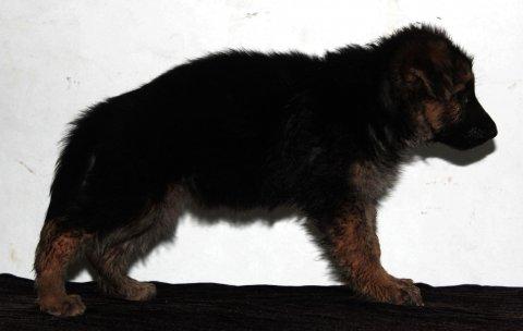 للبيع اجمل جروية (German Shepherd)