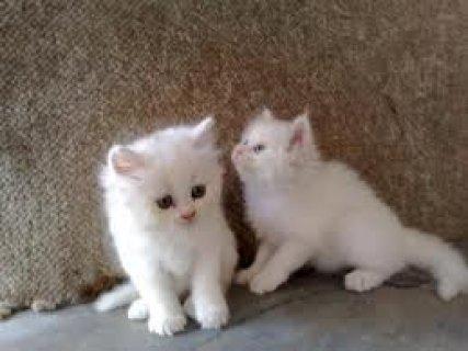 Beautiful Persian cats available