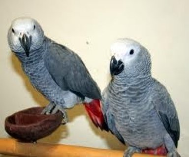 Congo African Grey Parrots For Rehoming