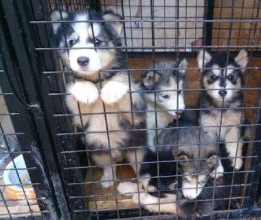 6 كلاب هاسكى االبيع