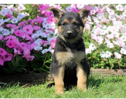 Hope - German Shepherd Male and Female Available!!