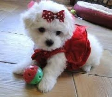 2 Fantastic Teacup Maltese Puppies Available