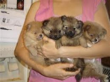 exclusive pomeranian puppies