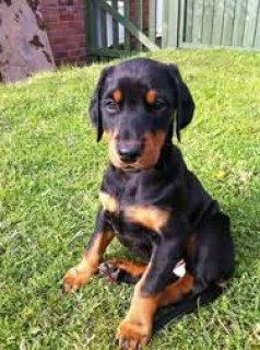 كلب الحراسه المصنف رقم واحد فى العالم