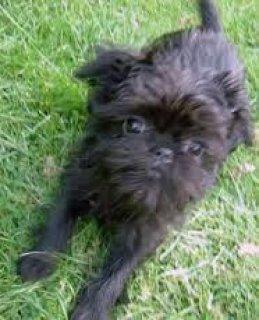 1 1 Week Old Foundation Affenpinscher Trained Puppy